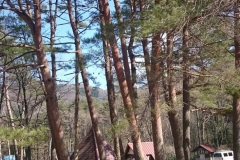 pine07
